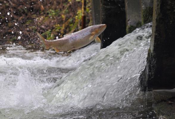 Два виды рыбы в Ленобласти гибнут из-за трубопереезда. 16003.jpeg