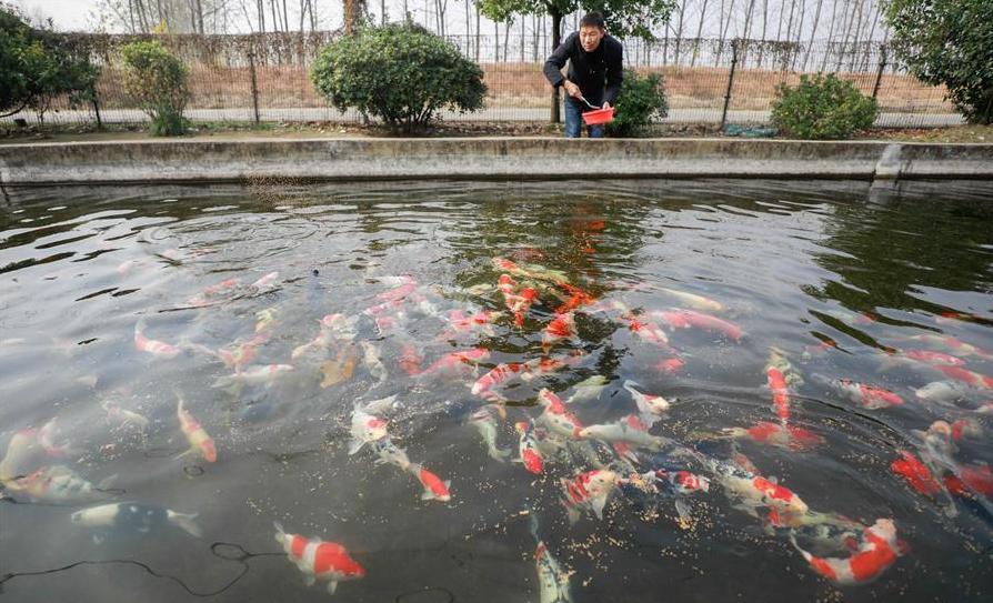 Китайские рыбоводы тиражируют золотых рыбок. 14022.jpeg