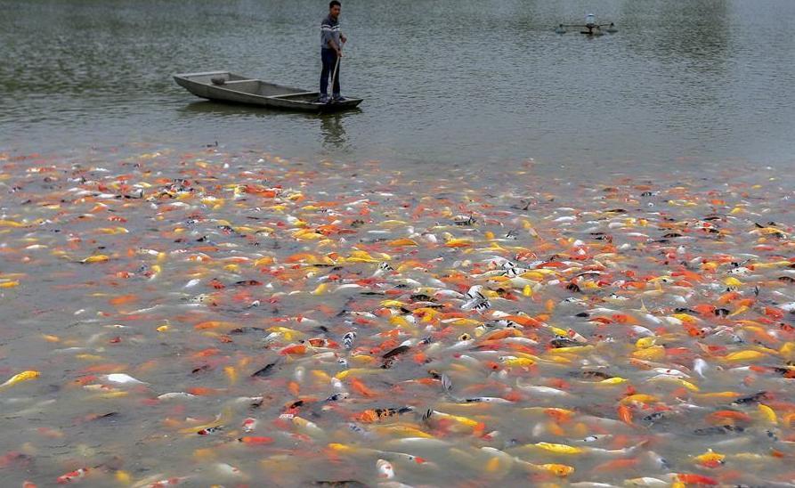 Китайские рыбоводы тиражируют золотых рыбок. 14023.jpeg