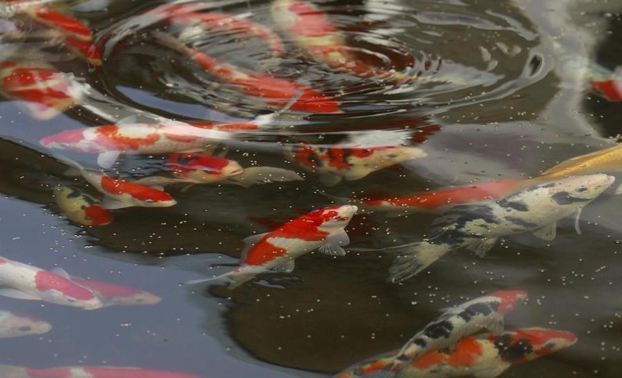 Китайские рыбоводы тиражируют золотых рыбок. 14024.jpeg