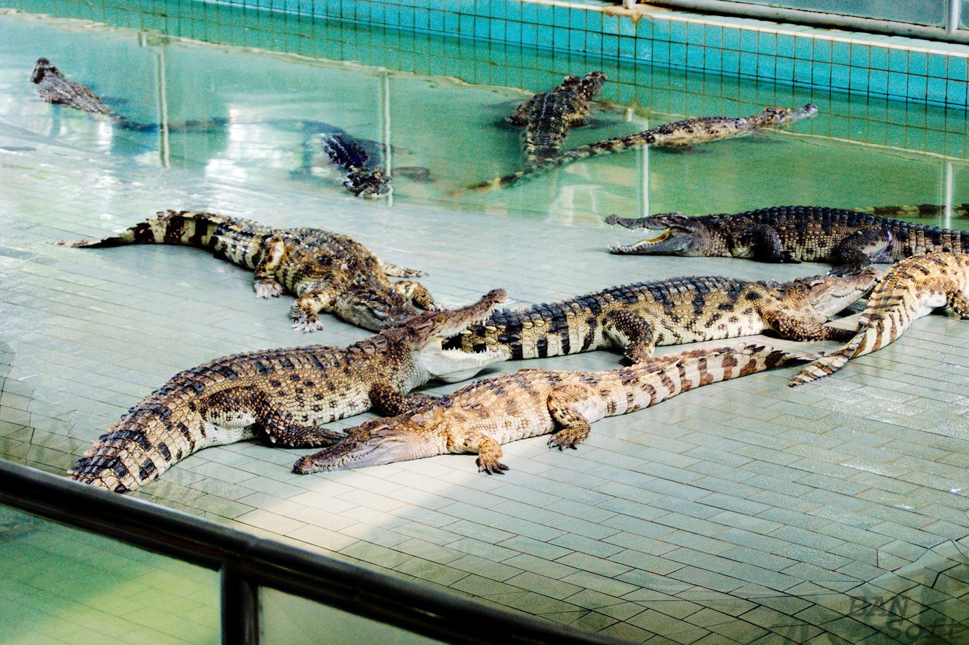 В МГУ крокодильи фермы назвали неоправданным риском. 16025.jpeg