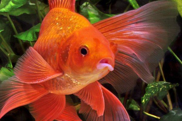 Золотая рыбка: она существует! - рыбы