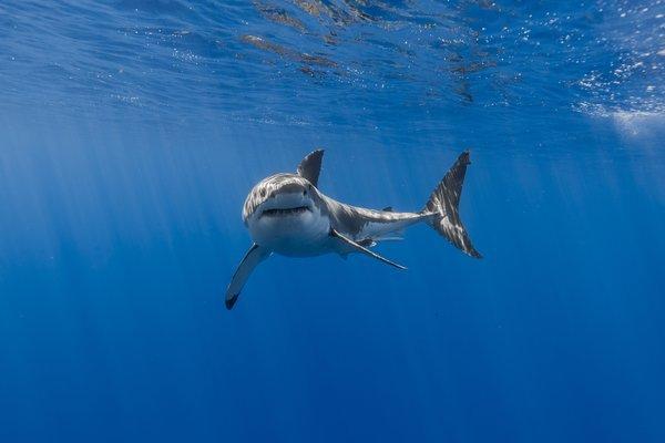 Почему нам повезло иметь акул. Регулирование морских пищевых цепочек. 14033.jpeg