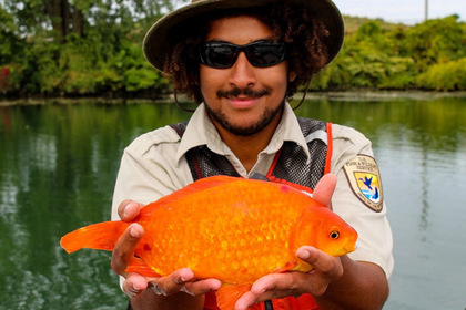 В Нью-Йорке выловили большую золотую рыбку. 16035.jpeg