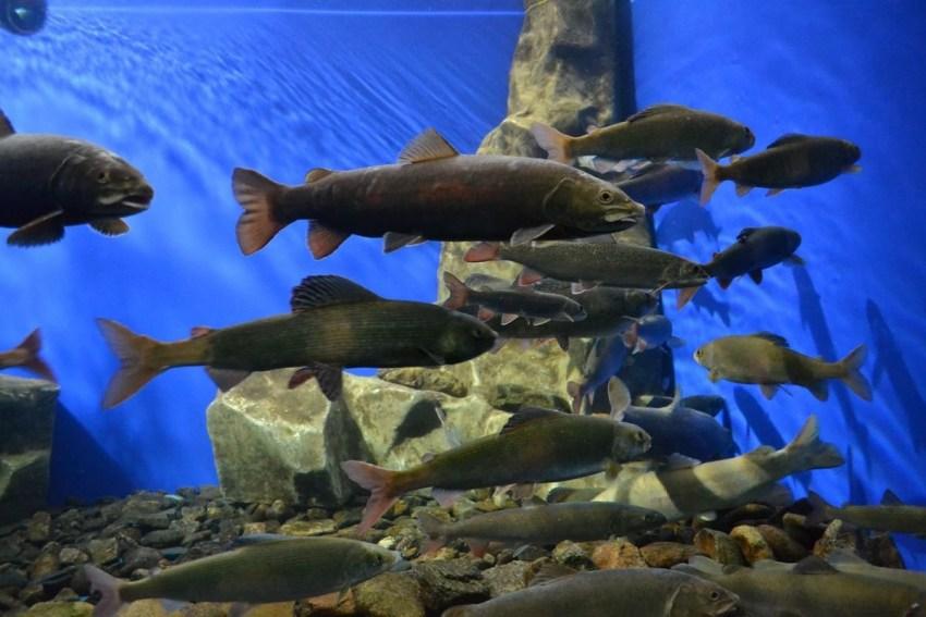Погибшая на Байкале рыба заражена паразитами. 16059.jpeg
