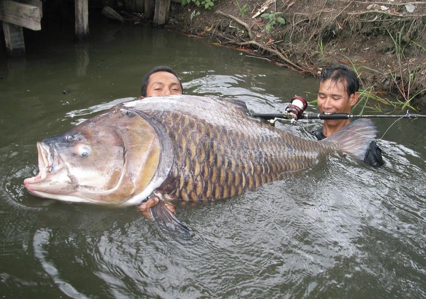 Таких карпов тайские рыбаки еще не видели. сиамский карп