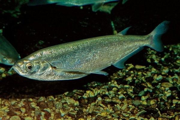 Любопытная речная рыба. 14087.jpeg