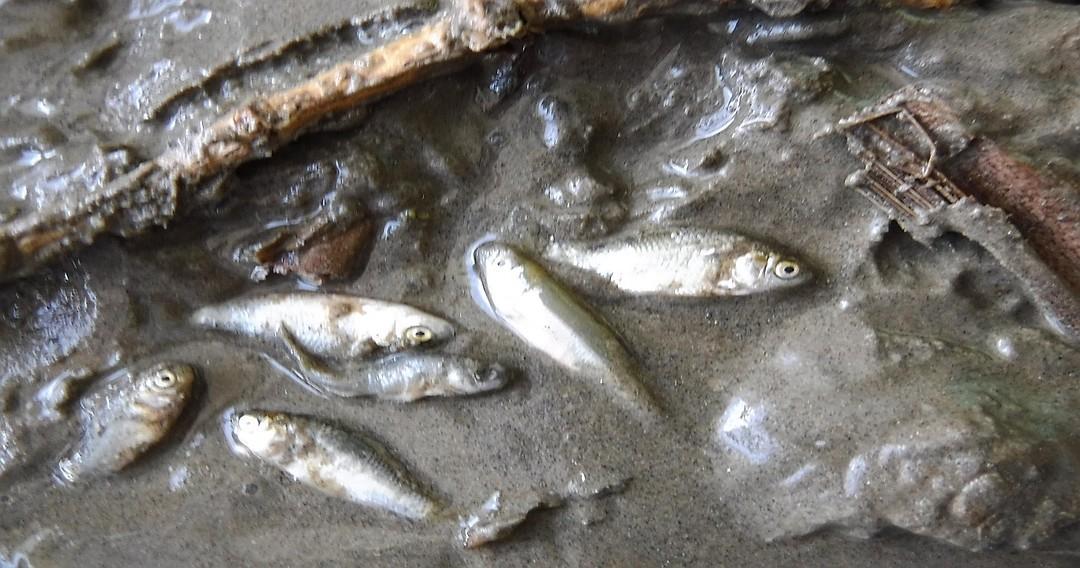 Волжскую рыбу добивает жара. 16096.jpeg
