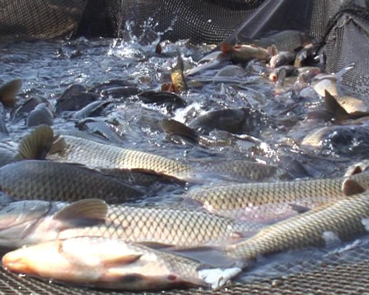 В Мурманской Думе выступили против товарной рыбы. 16099.jpeg
