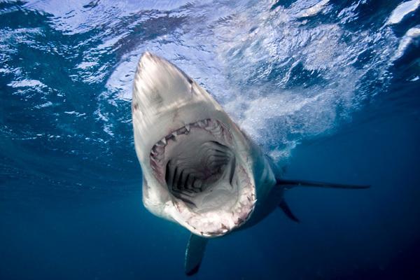 Огромный обитатель морской пучины - гигантская акула. 14104.jpeg
