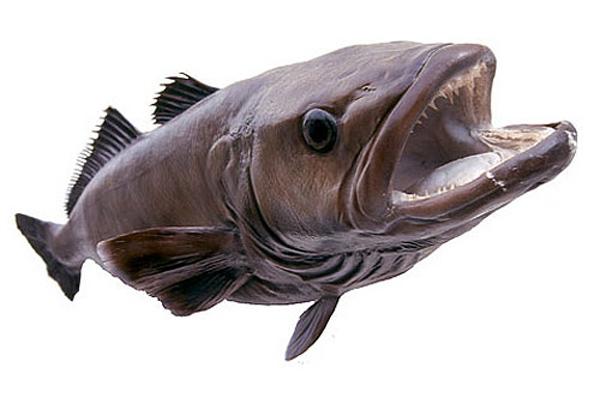 Жуткая, но вкусная и полезная рыба - клыкач. 14108.jpeg