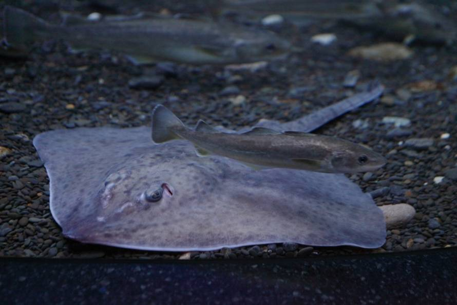 В Приморском океанариуме завелся «ленивый» скат. 16111.jpeg