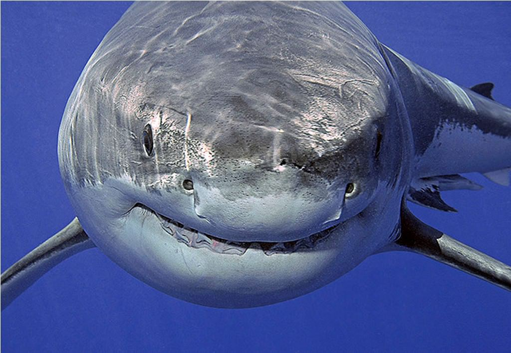 Турецкие рыбаки поймали огромную акулу. акула