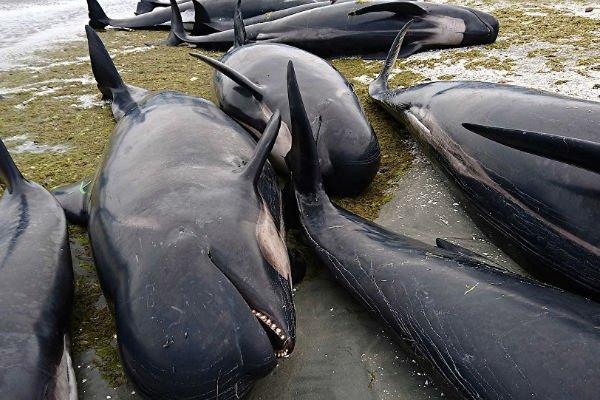 Дельфины опять выбросились на берег. 14113.jpeg