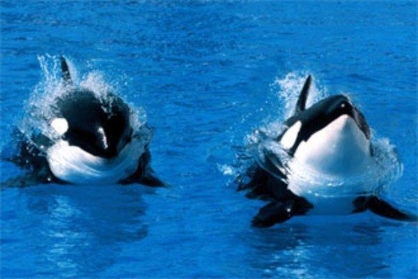 Хищные млекопитающие океанов и морей - косатки. 14118.jpeg