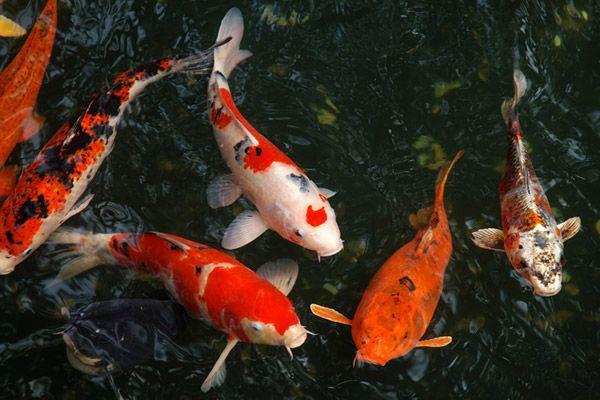 Вверх по течению: как японский карп стал «королём всех рыб». 14119.jpeg