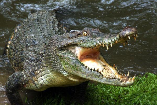 На Филиппинах поймали крокодила-убийцу. 14128.jpeg