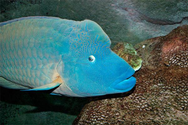 Самый дружелюбный житель тропических морей - рыба Наполеон. 14135.jpeg