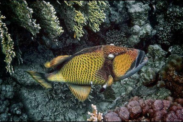 Обитатель коралловых рифов - рыба-триггер. 14136.jpeg