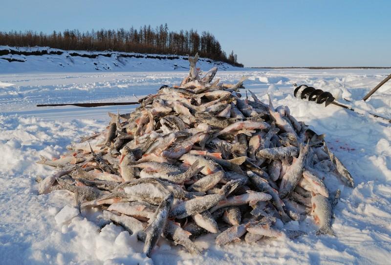 В Сургуте рыба подобно китам выбрасывается на берег. замор