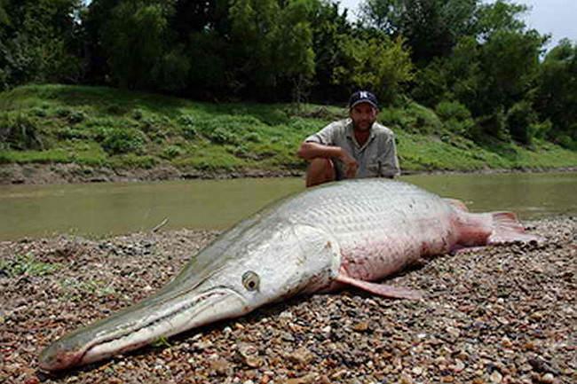 В парке Лафреньер поймали доисторическую рыбу. панцирник