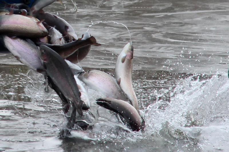 Прирост рыбного товара даст 1800 тонн на Новосибирскую область. 16150.jpeg