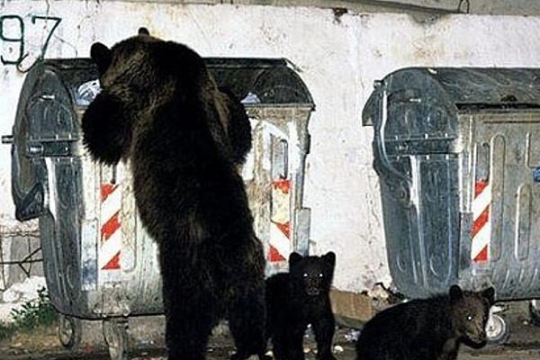Медведь решил перезимовать с городскими удобствами. 14165.jpeg