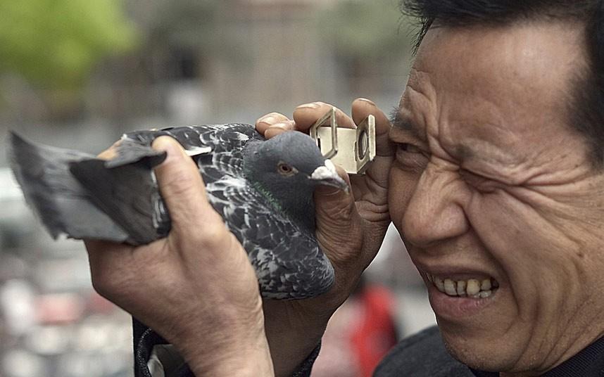 Китаец отдал за голубя 1,252 миллиона евро. голубь