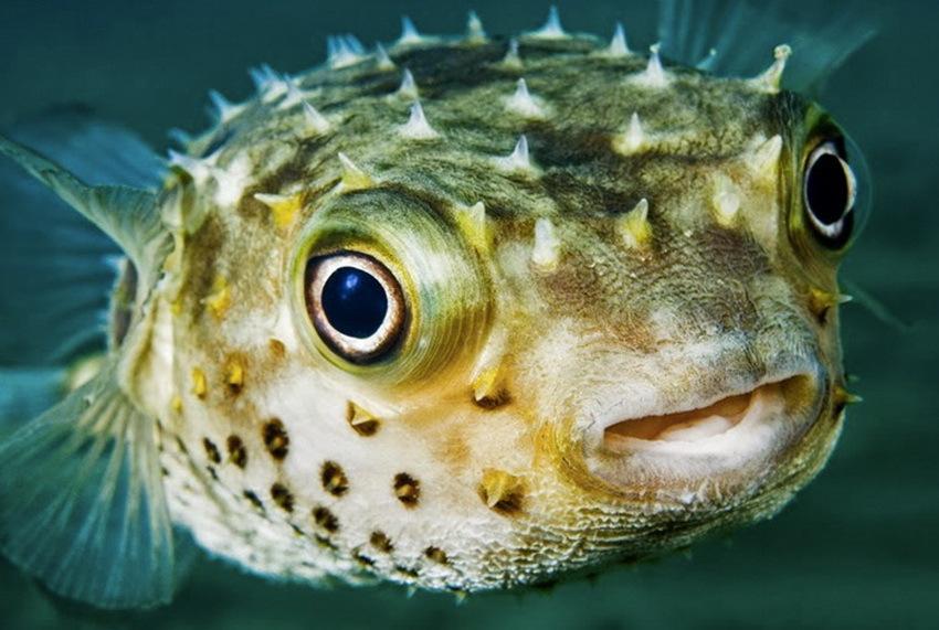 Яд рыбы фугу стал анестетиком. 16168.jpeg