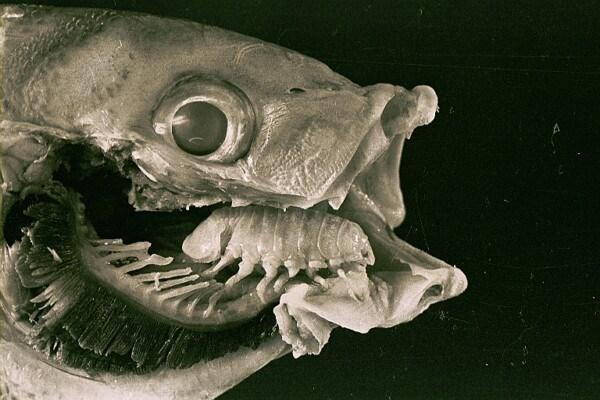 Языковая мокрица - хитрый паразит рыб. 14179.jpeg
