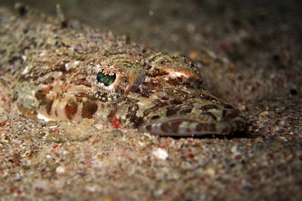 Хищная снаружи, но добрая внутри рыба-крокодил. 14180.jpeg