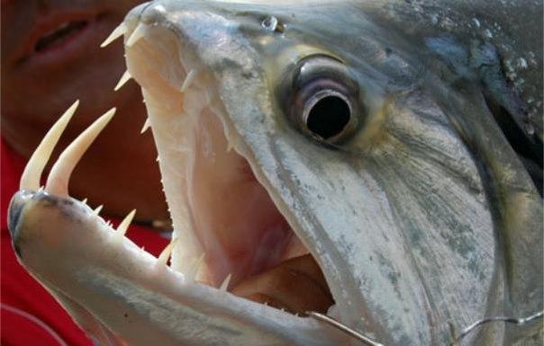Топ 10 самых опасных рыб в мире . 10 САМЫХ ОПАСНЫХ РЫБ В МИРЕ 3