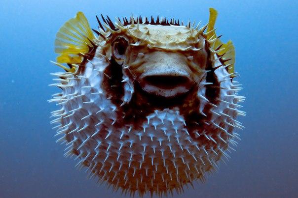 Топ 10 самых опасных рыб в мире . 10 САМЫХ ОПАСНЫХ РЫБ В МИРЕ 7