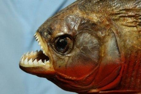 Топ 10 самых опасных рыб в мире . 10 САМЫХ ОПАСНЫХ РЫБ В МИРЕ 8