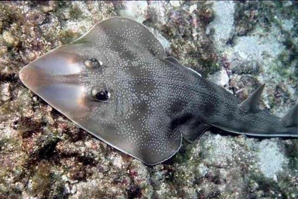 Рыба-гитара - музыкальное соло под водой. 14197.jpeg