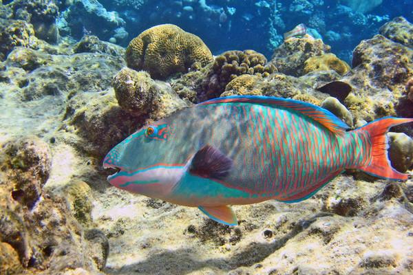 Рыба-попугай: украшение коралловых рифов. 14198.jpeg