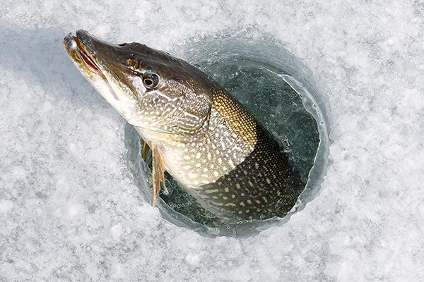 В Якутии щука утащила в лунку удочку рыбака. 14202.jpeg
