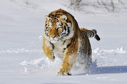 Мужчина убил напавшего на него тигра. тигр