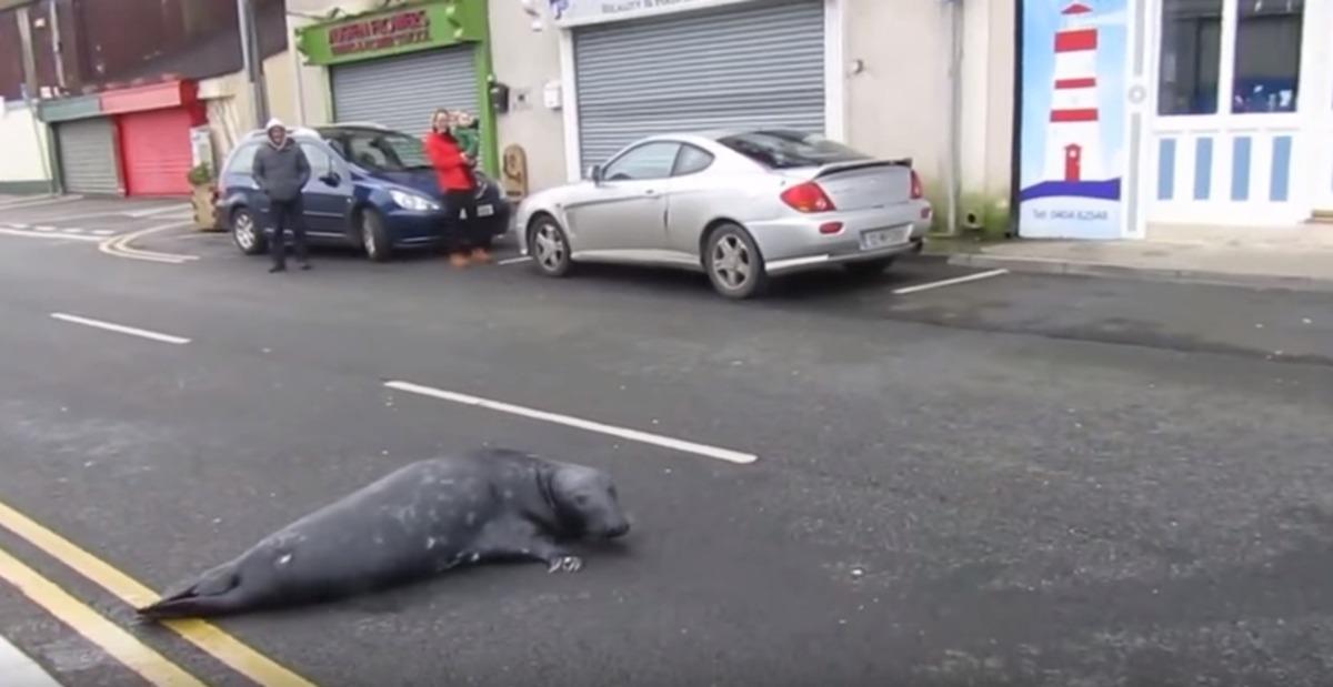 Ирландский тюлень завел привычку ходить по ресторанам. тюлень