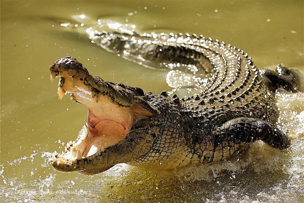 В Австралии крокодил ограбил рыбака. крокодил