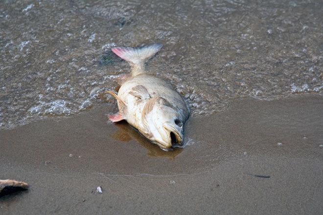 Тысячи мертвых рыб появились на Куде. рыба