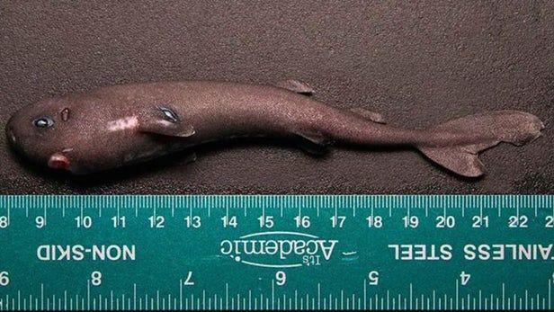 В США нашли акулу длиной 14 см. 16232.jpeg