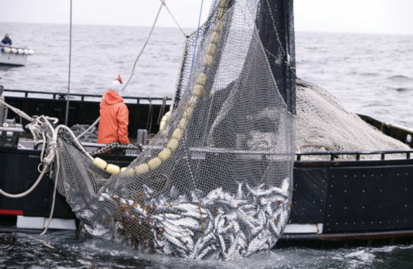 ВРосрыболовстве обсудили результаты пелагической путины. рыбалка, Росрыболовство, путина