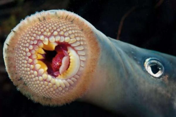 Миноги - самые отвратительные и потрясающие существа на Земле. рыбы, минога, морские животные