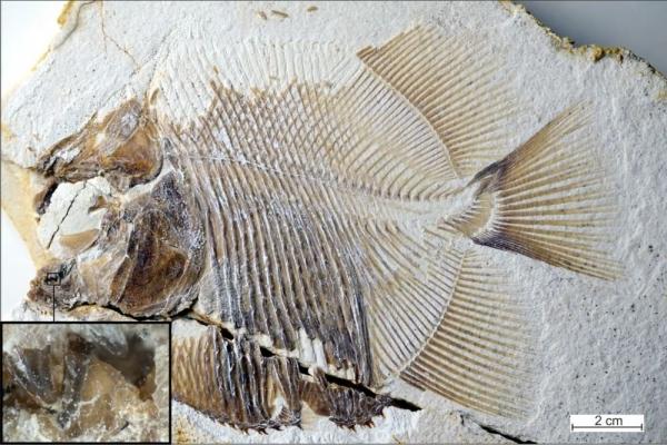 Нашим предком назвали ушастую рыбу. 14244.jpeg