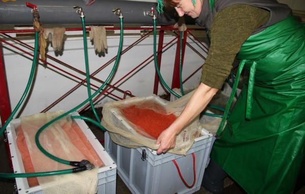 Камчатские рыбзаводы начали закладку икры для воспроизводства лосося. рыбы, рыбзаводы, икра, лосось, Камчатка, Камчатский край