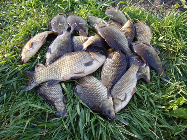 Брянец получил 80 часов работ за 90 карасей. рыбы, рыбалка, караси, прокуратура, Брянская область