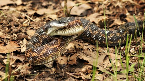 Двухметровая змея пыталась съесть рыбу около детской площадки в Ростове-на-Дону. рыба, змея, Ростов-на-Дону