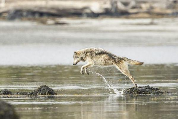 Ученые узнали, что волки умеют ловить рыбу. 14261.jpeg