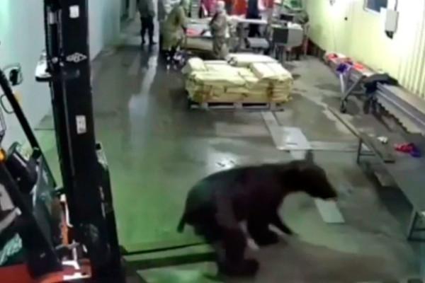 Медведь ворвался на рыбзавод и распугал персонал: видео. рыбы, рыбзавод, медведь, Сахалин